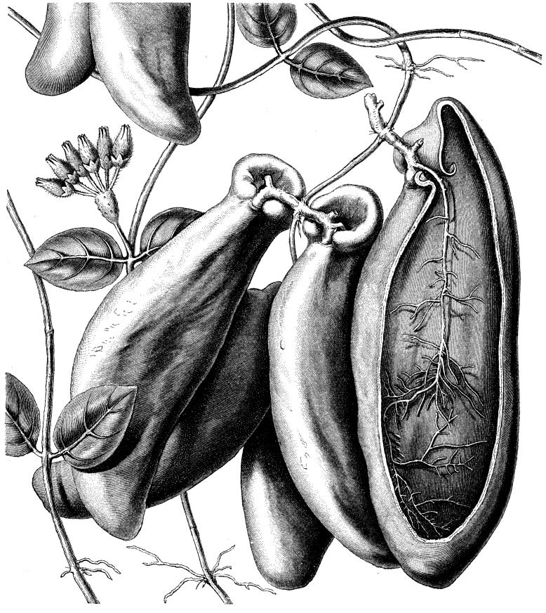 From Anton Kerner von Marilaun's Pflanzenleben or The Natural History of Plants their Forms, Growth, Reproduction, and Distribution (1887)